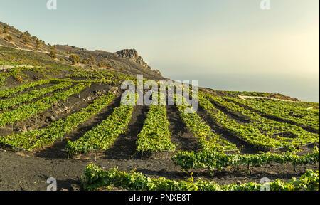 Weinberge über Lavafelder in Fuencaliente, La Palma, Kanarische Inseln Stockbild