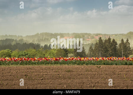 Grosses Feld mit bunten Blumen und Gelbe Raps Stockbild
