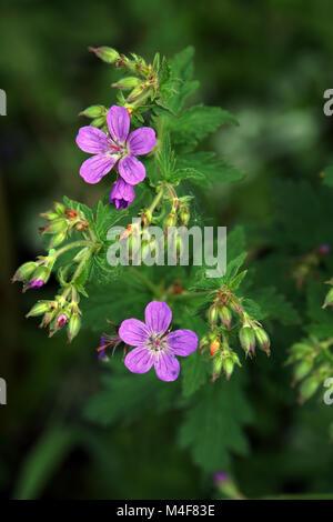 Woodcranesbill Stockbild