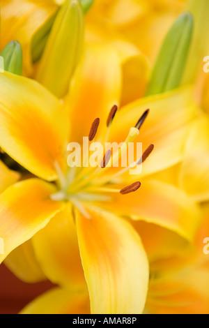 Eine gelbe Lilie Stockbild