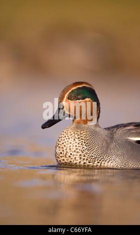 Petrol / Anas Vogelarten Profil ein erwachsener Mann zeigt seine spektakulären Gefieder. Norfolk, Großbritannien. Stockbild
