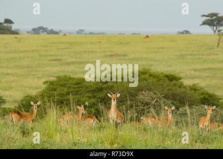 Kob Antilope (Kobus kob), Murchison Falls Nationalpark, Uganda Stockbild