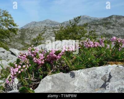 Cornish Heide (Erica vagans) verklumpen die Blütezeit unter den Kalksteinfelsen auf montane Weiden, Picos de Europa, Asturien, Spanien. Stockbild