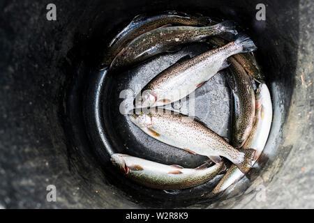 Hohen Winkel in der Nähe der Ladeschaufel mit frisch gefangenen Forellen in einer Forellenzucht. Stockbild