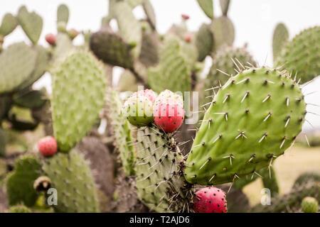 Pozos, Mexiko. Cactus mit Obst zu Blume Stockbild