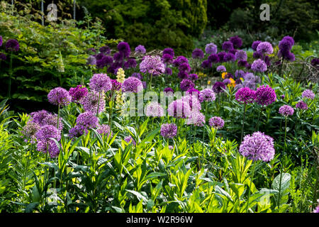 In der Nähe von Bed rosa und lila Alliums mit üppigen Laub. Stockbild