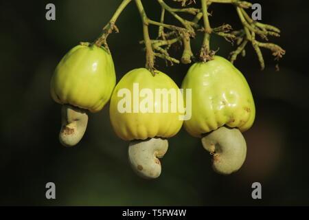 Cashew Frucht Baum, Visakhapatnam, Andhra Pradesh, Indien, Asien Stockbild