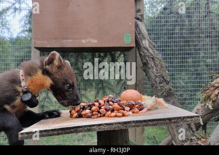 Baummarder (Martes martes) sniffing Essen auf einem Tisch in einem weichen release Käfig nach der Ankunft aus Schottland während einer Wiedereinführung, Ceredigon, Wales, Großbritannien Stockbild