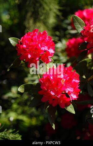 Rot Rhododendron Blüte, (Rhododendron), Bremen, Deutschland, Europa Stockbild