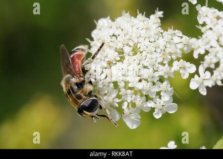 Hoverfly (Merodon avidus) Beschickung von Möhre/Queen Anne's Lace (Daucus carota) Blumen, Lesbos/Lesbos, Griechenland, Mai. Stockbild