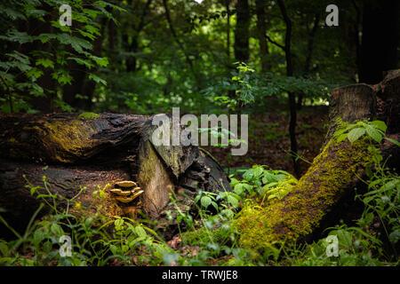 Baum Pilze wachsen auf einem alten Baumstamm, die in einem Wald liegt Stockbild
