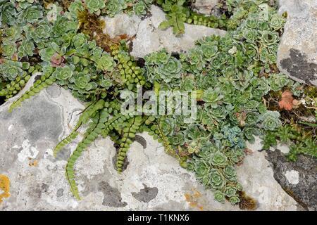 Lebenslanges Steinbrech (Saxifraga paniculata) und Maidenhair spleenwort (Asplenium Trichomanes) wachsen in Kalkstein Felsspalten, Picos de Europa, Spanien Stockbild