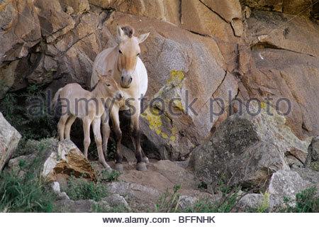 Takhi-Stute mit Fohlen, Equus Caballus Przewalskii Hustain Nuruu National Park, Mongolei Stockbild