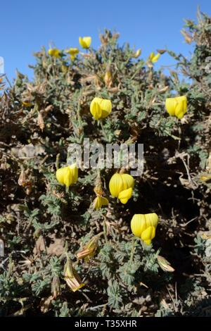Gelbe restharrow (Ononis natrix Hesperia Hesperia/Onis) Blühende auf einer Landspitze, Lanzarote, Kanarische Inseln, Februar. Stockbild