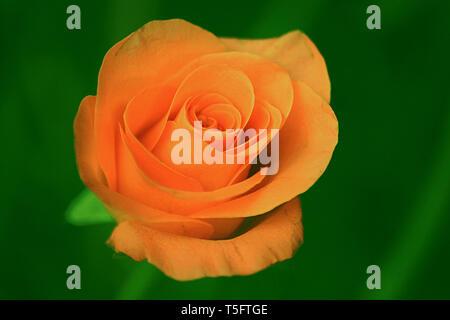Orange Rose Blume, araku, Andhra Pradesh, Indien, Asien Stockbild