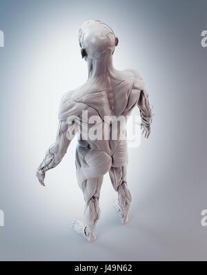 Detaillierte Muskeln Anatomie 3D illustration Stockbild