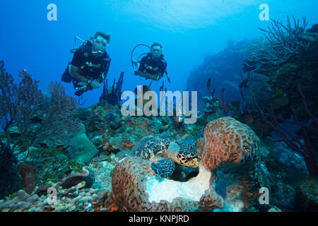 Taucher beobachten die Interaktion der verschiedenen Arten von Meerestieren, wie sie das Gleiche essen Quelle zuzugreifen. Stockbild