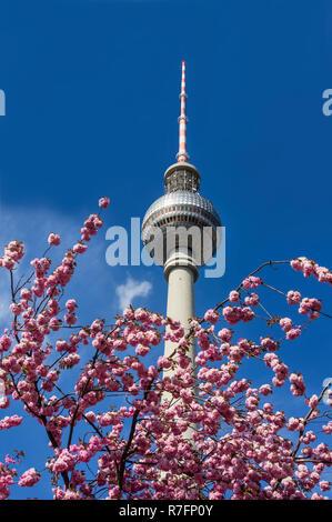 Cherry Blossom, Feder, Alex, Fernsehturm, Alexanderplatz, Berlin, Deutschland Stockbild