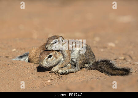 Erdhörnchen (Xerus Inauris), Kgalagadi Transfrontier Park, Northern Cape, Südafrika, Afrika Stockbild