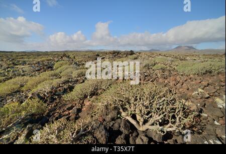 Balsam Wolfsmilch/Süße tabaiba (Euphorbia balsamifera) Büsche wachsen auf alten Lavaströme, Malpais de la Corona, Lanzarote, Kanarische Inseln, Februar. Stockbild