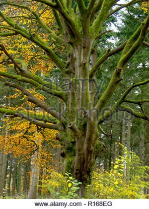 Bäume im Herbst Hampshire Wald England Stockbild