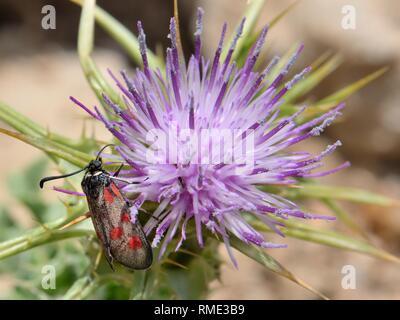 Korsische Burnett (Zygaena Corsica/Mesembrynus Korsika) eine endemische Art von Korsika und Sardinien auf Thistle Blumen, Gennargentu NP Sardinien Stockbild