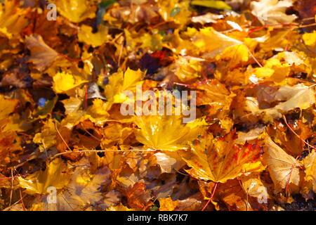 Ahornblätter, bunte Blätter im Herbst auf dem Boden liegend, Deutschland, Europa ich Ahornblätter, buntes Herbstlaub auf dem Boden liegend, Deutschland I Stockbild