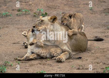 Löwin (Panthera leo) spielen und Verklebung mit Jungen, Zimanga Private Game Reserve, KwaZulu-Natal, Südafrika, Afrika Stockbild
