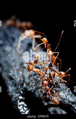 Rote Ameisen auf schwarzem Hintergrund Stockbild