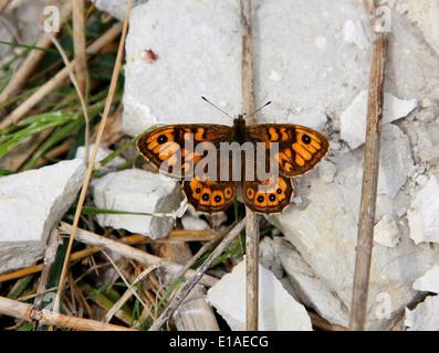 Wand braun Schmetterling, Lasiommata Megera (Pararge Megära), Satyrinae, Nymphalidae, Papilionoidea. Männlich. Stockbild