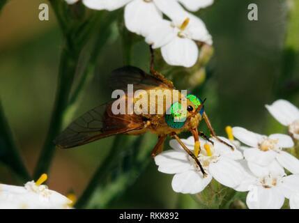 Deer fly (Silvius alpinus) mit grünen Augen Nektar - Beschickung von Blumen. Spanischen Pyrenäen. Stockbild