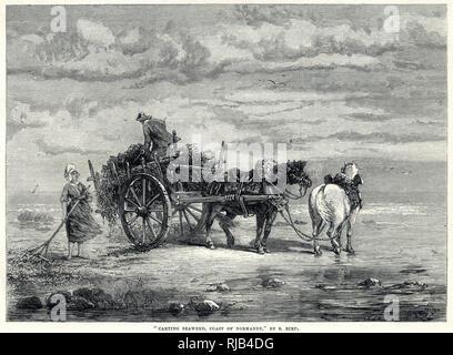 """Algen oder """"vraic"""", die es vor Ort genannt wurde, geharkt und auf primitive - Suchen Karren an der Küste der Normandie. Seegras wurde hauptsächlich für Gülle beschäftigt, war mein chemische Eigenschaften verarbeitet, Jod als einer ihrer Bestandteile und einige medizinisch verwendet und sogar für Lebensmittel. Stockbild"""