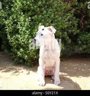 Nassen Pitbull Welpen Stockbild