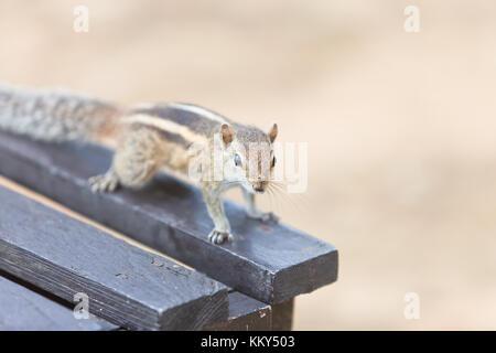 Vertrauensvoll Eichhörnchen, Ahungalla, Sri Lanka, Asien Stockbild