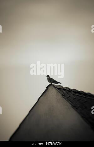 Eine Taube sitzt oben auf alten Haus. Vogel auf dem Dach Aufbau. Konzept der Freiheit, Einsamkeit und Einfachheit. Stockbild