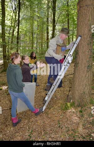 Peter Grimsey absteigend eine Leiter mit einem nistkasten mit einer Familie von ESSBAREN/Fat Siebenschläfer (Glis Glis) während eines Monitoring Projekt in Wäldern, wo Stockbild