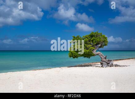 Verwitterte Fototi Baum (oft fälschlicherweise für Divi Divi) auf den Strand von Aruba, West Indies Stockbild