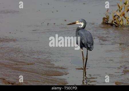 Egret dunklen Phase, TAPI-Fluss, Surat, Gujarat, Indien, Asien Stockbild
