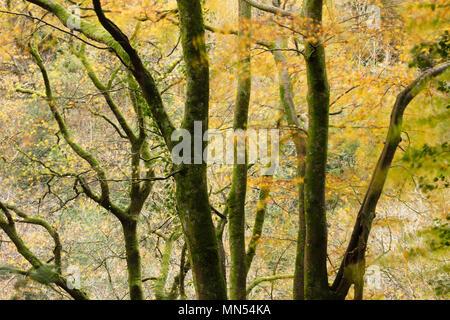 Herbstfarben in der Conway Tal, Snowdonia, Wales, Großbritannien Stockbild
