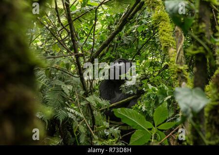 Berggorilla (Gorilla beringei beringei), Bwindi Bwindi Impenetrable Forest, Berge, Uganda Stockbild