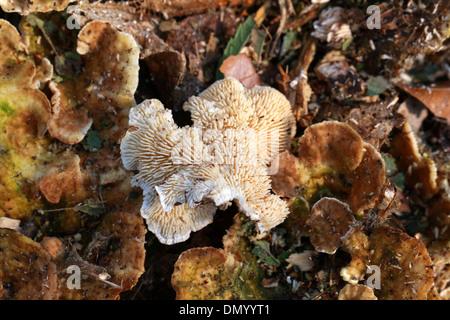 Zonen Zahn Pilz, Hydnellum Concrescens, Bankeraceae. Stockbild
