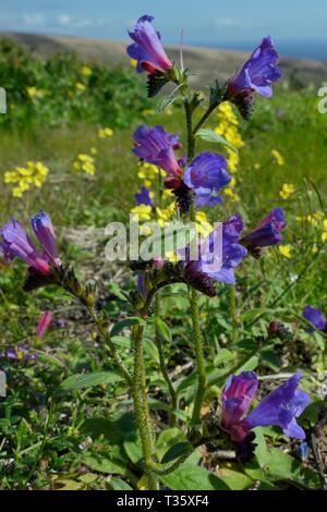 Lanzarote (bugloss Natternkopf lanzarottense/lancerottense), eine endemische Art auf der Insel, und Kanarischen Kreuzblütler (Erucastrum canariense), Lanzarote. Stockbild