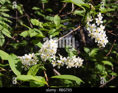 Prunus padus, vogel Kirsche, Nahaufnahme der Ein blühender Baum, gemeinsame rund um den Oslo Fjord in Norwegen im Frühling Stockbild