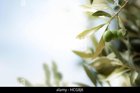Horizontales Bild für einen Olivenbaum-Zweig mit freiem Speicherplatz auf der linken Seite. Stockbild