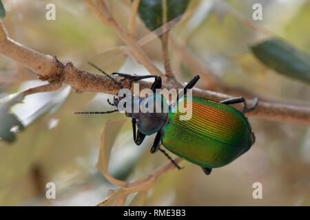 Wald caterpillar Hunter (Calosoma sycophanta), ein Käfer der Nahrungssuche in einer Steineiche (Quercus ilex) Baum auf der Suche nach Schwammspinner Raupe (Ly Stockbild