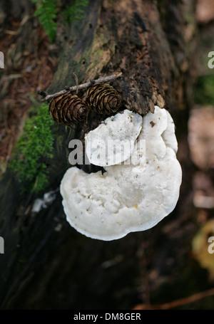 Bittere Halterung, Postia Stiptica, Fomitopsidaceae, Sy Tyromyces Stipticus. Eine weiße Halterung Pilz, der auf Toten Nadelbäumen wächst. Stockbild