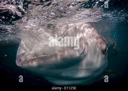 Walhai mit offenem Mund, Cenderawasih-Bucht, Neuguinea, Indonesien (Rhincodon Typus) Stockbild