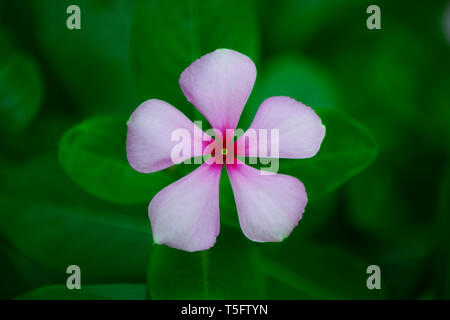 Vinca rosea Blume, Indien, Asien Stockbild