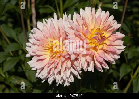Dahlie, Botanischer Garten, Additional-Rights - Clearance-Info - Not-Available Stockbild