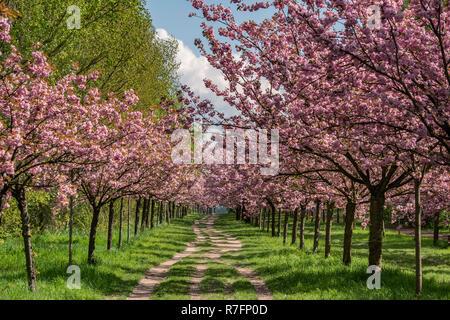 Cherry Alley, Teltow bei Berlin, Mauerweg, Wall Path, Land Brandenburg, Deutschland Stockbild